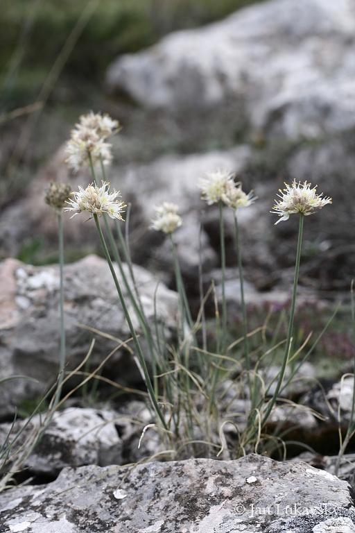 Česnek (Allium saxatile)
