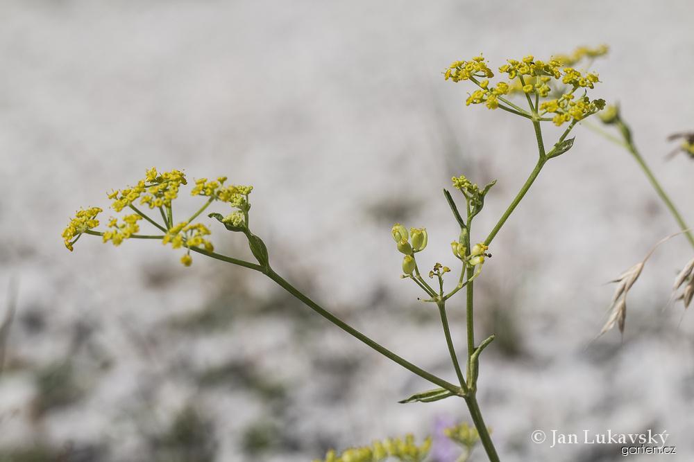 Pastinák setý - květy (Pastinaca sativa)