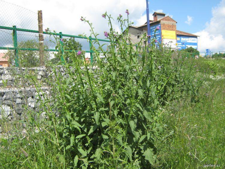 Bodlák kadeřavý (Carduus crispus)