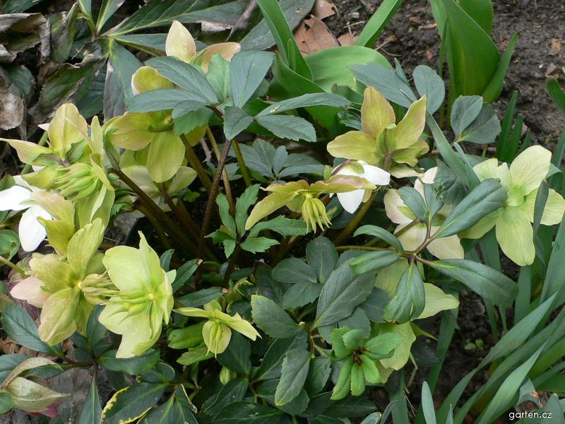 Čemeřice černá (Helleborus niger)