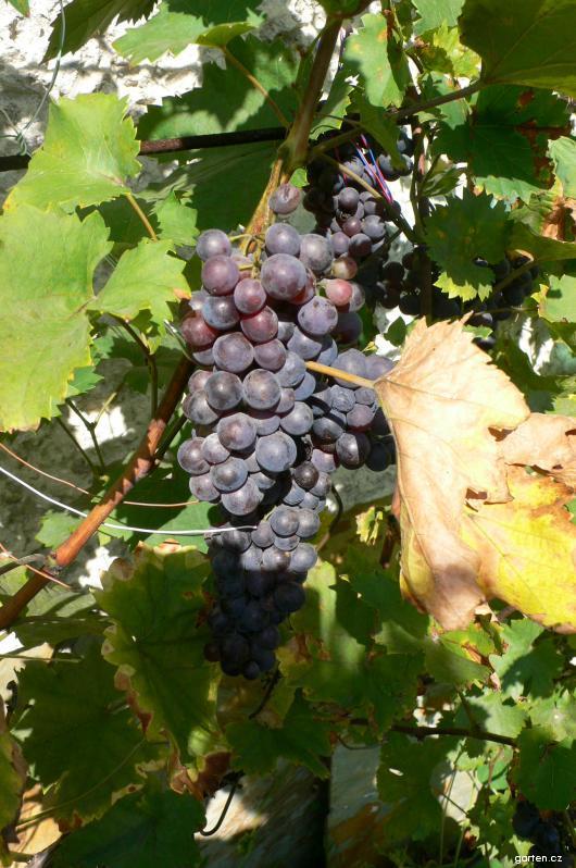 Réva vinná Jukrys (Vitis vinifera)