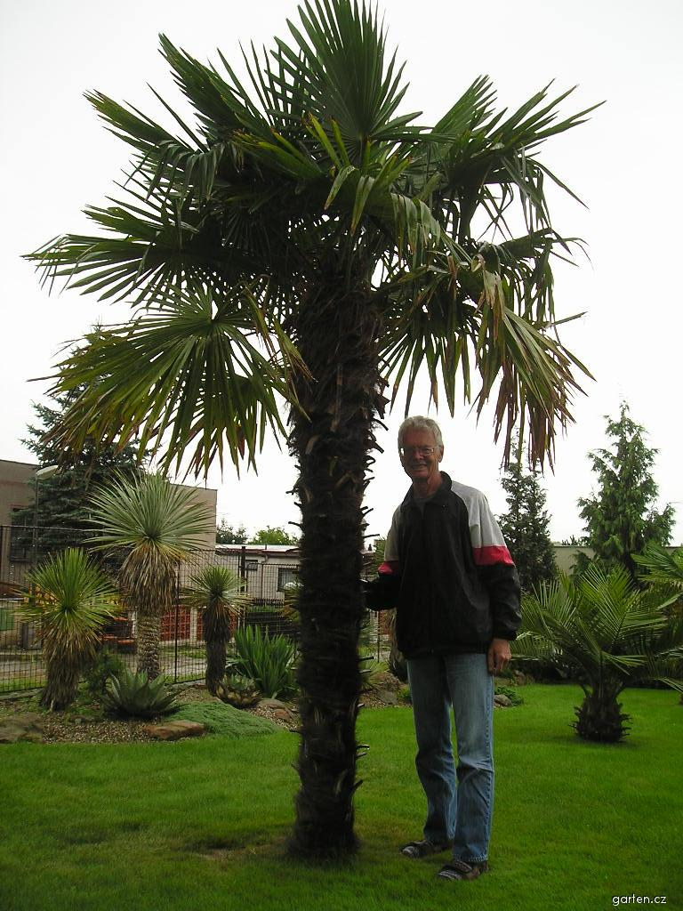 Žumara ztepilá - téměř čtyřmetrová palma (Trachycarpus fortunei)