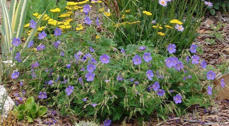 Kakost (Geranium pratense)