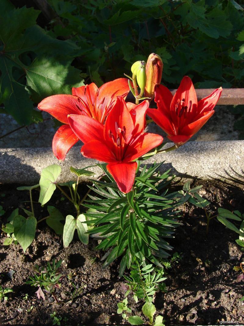 Lilie Crimson Pixie - Asijský hybrid, zakrslý (Lilium x hybridum)