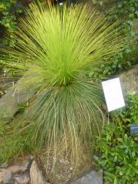 (Xanthorrhoea johnsonii) Žlutokap