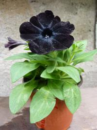 Surfinie 'Black Satin' (Surfinia Sweetunia)