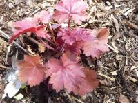 Dlužicha 'Fire Chief' (Heuchera hybridum)