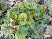 (Heuchera hybridum) Dlužicha 'Littles Winter Ice'