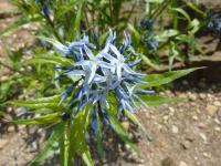 (Amsonia illustris) Amsonie - květ