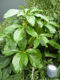 Noni citrusolistá (Morinda citrifolia)