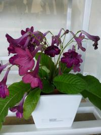 Tořivka 'Space Dust' (Streptocarpus)