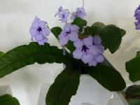 Tořivka 'Crystal Beauty' (Streptocarpus)