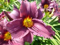 Denivka 'Minstrel Boy' (Hemerocallis)