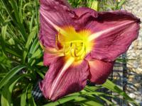 Denivka 'Indigo Moon' (Hemerocallis)