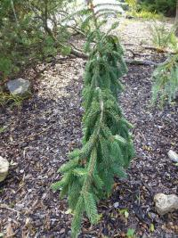 (Picea abies Rothenhaus) Smrk ztepily, previsly