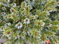 (Picea sitchensis) Smrk sitka 'Fritche'