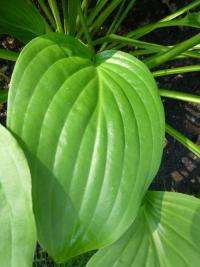 Hosta        'Royal Standard'  bohyška, funkie listy