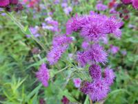 (Ageratum houstonianum) Nestařec mexický 'Red Sea'