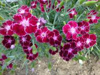 (Dianthus) Hvozdík 'Unique'