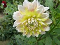 Jiřina 'Peaches and Cream' (Dahlia)
