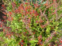 Šalvěj šarlatová 'Lady in Red' (Salvia coccinea)