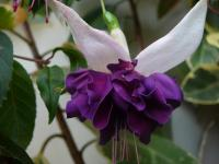 Fuchsie 'Deep Purple' (Fuchsia)