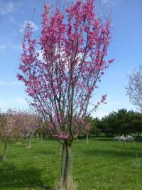 Prunus serrulata  'Captain Collingwood Ingram' - sakura ozdobná