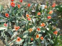Tulipán Greigův Orange Elite (Tulipa greigii)