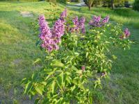 Syringa vulgaris  'Arthur William Paul' - šeřík obecný