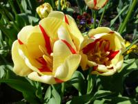 Tulipán 'World Expression' (Tulipa x hybrida)