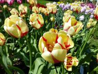 Tulipa  'World Expression' - tulipán