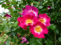(Rosa) Růže 'Bloomfield Courage'