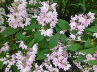 (Deutzia hybr) Trojpuk 'Strawberry Fields'