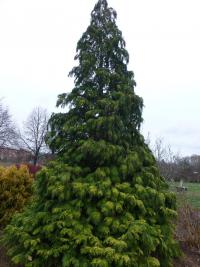 Cypřišek Lawsonův 'Golden Wonder' - habitus (Chamaecyparis lawsoniana)