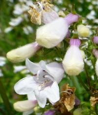 Dračík - květ (Penstemon digitalis)