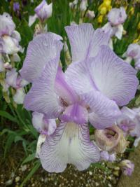 (Iris) Kosatec 'True Delight' - květ