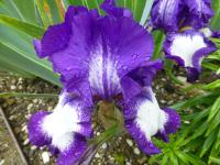 (Iris) Kosatec 'Stepping Out'