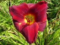 (Hemerocallis hybrida) Denivka 'Scarlet Royalty'