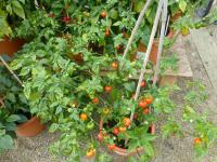 (Capsicum chinense) Paprika čínská 'Scotch Bonnet Red'