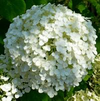 hydrangea arborescens strong annabelle. Black Bedroom Furniture Sets. Home Design Ideas