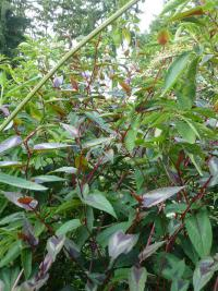 (Persicaria microcephala) Rdesno 'Red Dragon' - listy