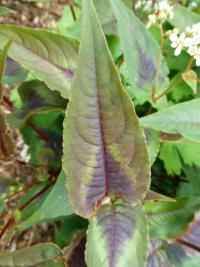 (Persicaria microcephala) Rdesno 'Red Dragon' - list