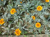 (Gazania rigens) Gazánie zářivá 'Talent Orange'