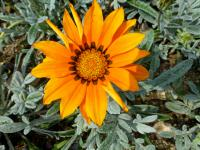 (Gazania rigens) Gazánie zářivá 'Talent Orange' - květ