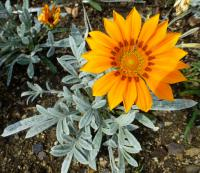 Gazania rigens  'Talent Orange' - gazánie zářivá