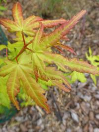 Acer palmatum   'Orange Dream'  javor dlanitolistý listy