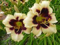 Hemerocallis   'Piano Man'  denivka rostlina