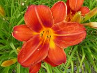 Denivka 'Chicago Fire' - květ (Hemerocallis hybrida)