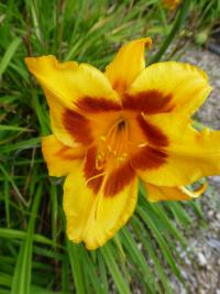 Hemerocallis  'Black Eyed Susan' - denivka