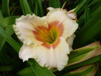 (Hemerocallis hybrida) Denivka 'Siloam Ethel Smith'